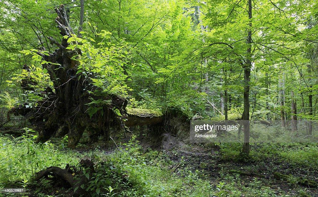 Old oak trees broken lying : Stock Photo