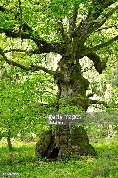 old oak with in may