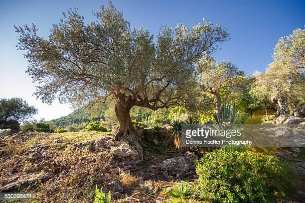 Old olive tree Mallorca Spain