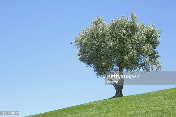 Viejo olivo