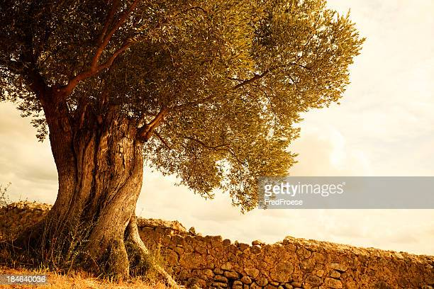 old olive tree - olive tree stock pictures, royalty-free photos & images