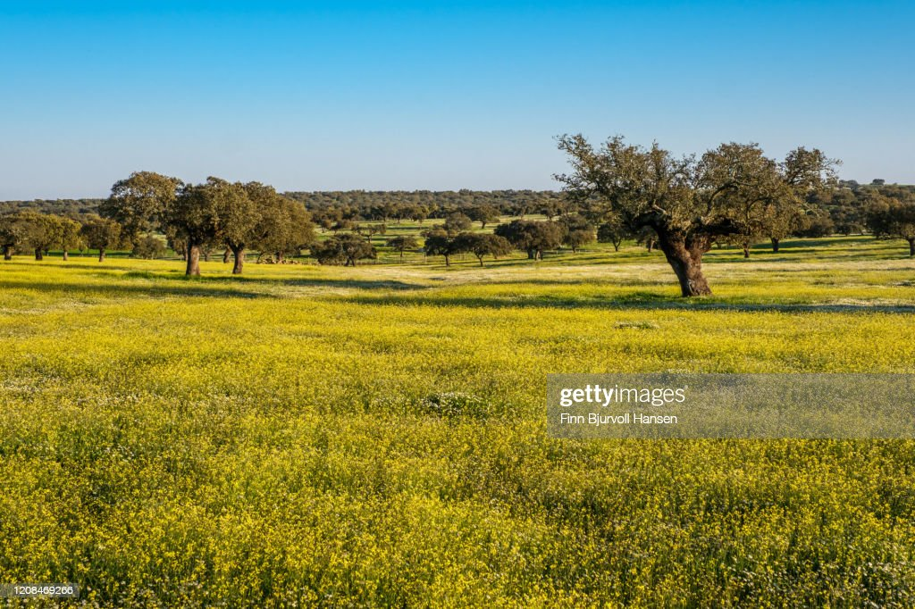 Old olive trees in a field of yellow and white flowers : Stock Photo