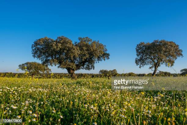 old olive trees in a field of yellow and white flowers - finn bjurvoll stock pictures, royalty-free photos & images