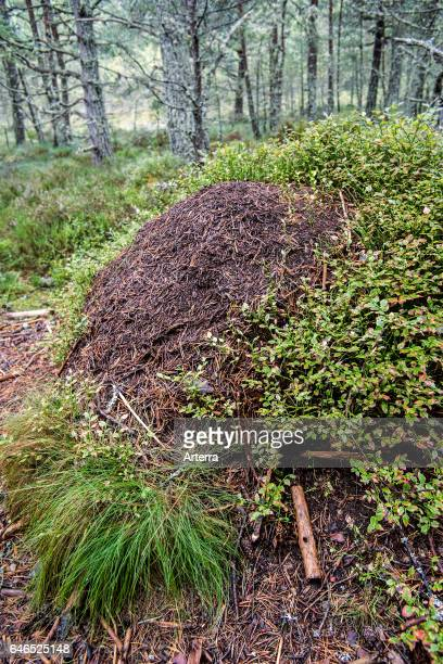 Old overgrown anthill of red wood ants / horse ant made of conifer needles in forest