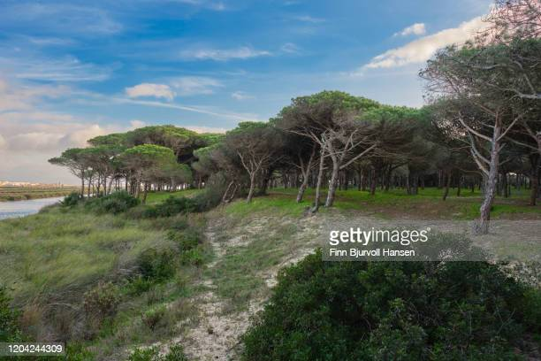 old pine forest at the banks of rio jara in tarifa - finn bjurvoll stock pictures, royalty-free photos & images