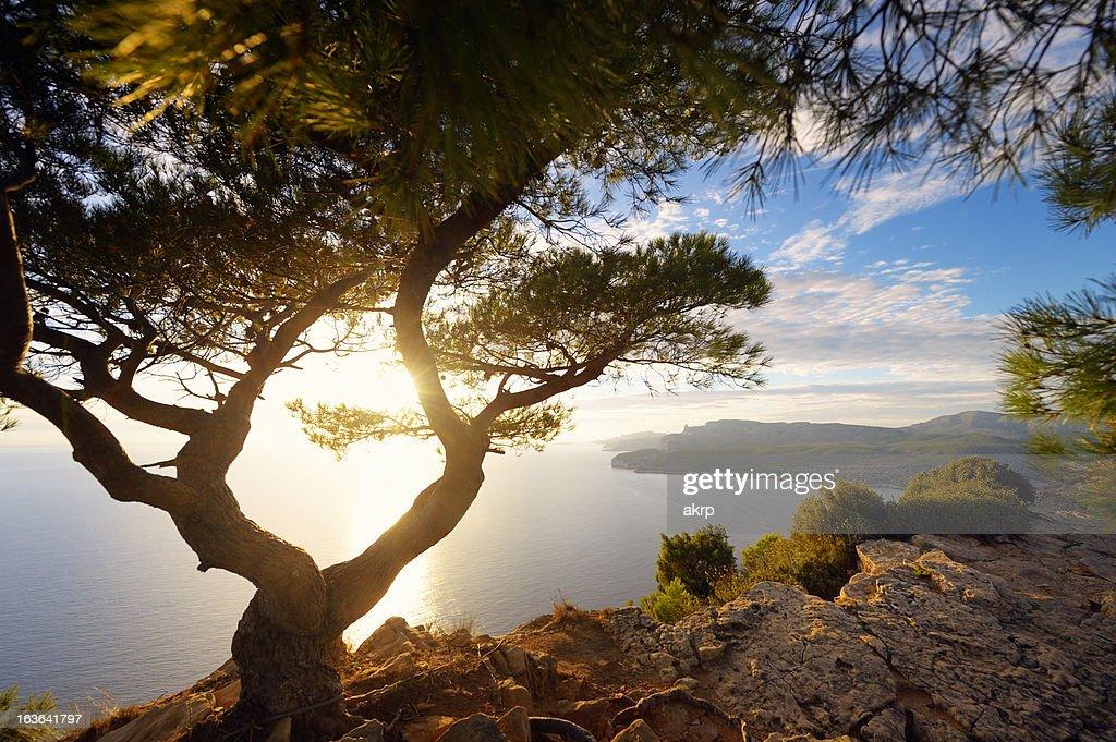 Ancienne Pin sur la Côte d'Azur : Photo