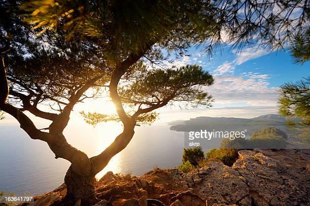ancienne pin sur la côte d'azur - côte d'azur photos et images de collection