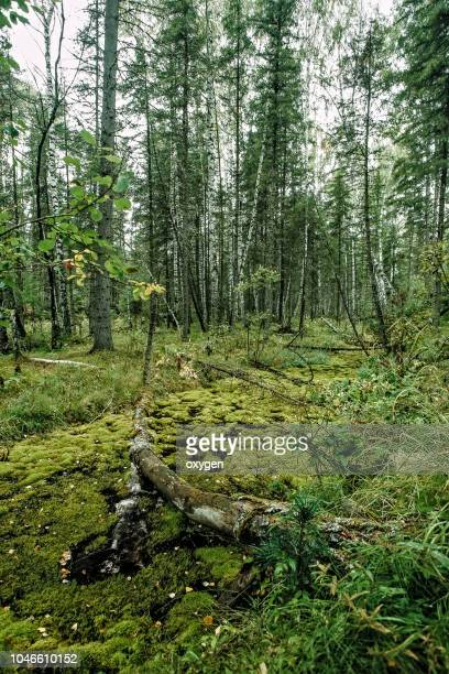 old primeval forest with nice lights and shadows - deciduous tree stock pictures, royalty-free photos & images