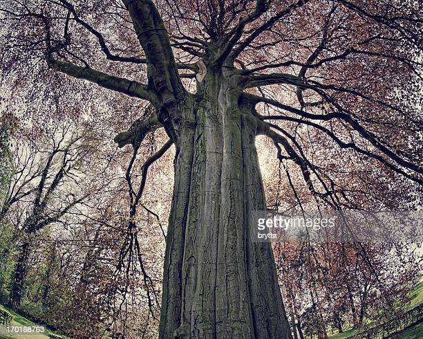 Old red beech tree in the park, fiseye lens used