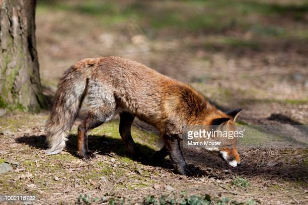 old red fox (vulpes vulpes), hesse, germany - vista lateral stock pictures, royalty-free photos & images