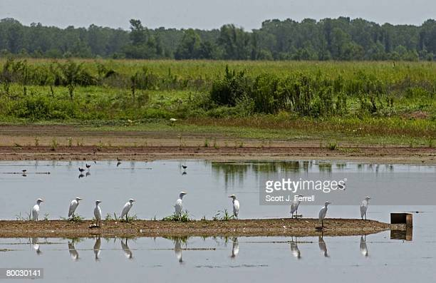 REFUGE Old rice fields flooded to correspond with migratory patterns are home for White Ibis Peeps Cattle Egrets and Blacknecked Stilts at the Bayou...