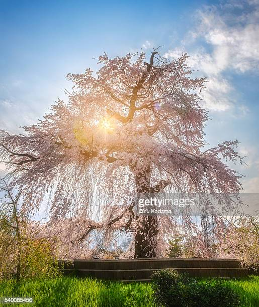 Old sakura tree
