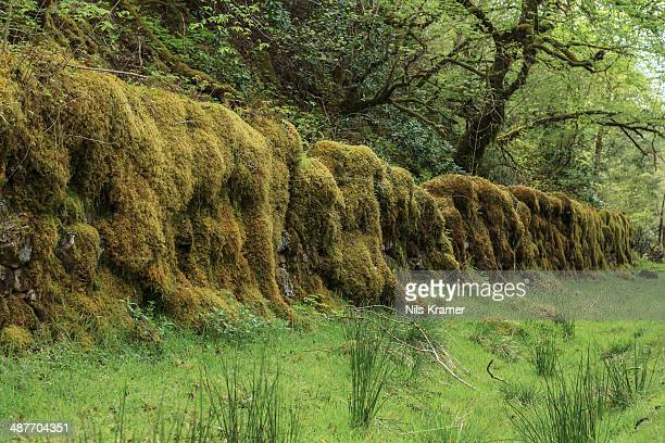 old stone wall overgrown with moss in a forest, drumnadrochit, scotland, united kingdom - drumnadrochit stock pictures, royalty-free photos & images
