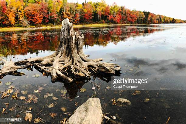 old stump rotting away along the shoreline of lake umbagog during autumn in millsfield, new hampshire usa - september stock-fotos und bilder