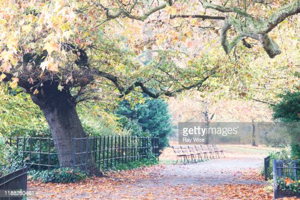 old tree and park benches in autumn in london - battersea park stock pictures, royalty-free photos & images