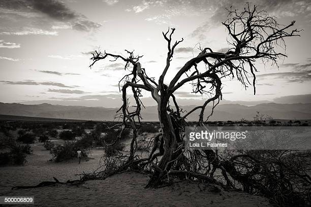 Old tree b/w