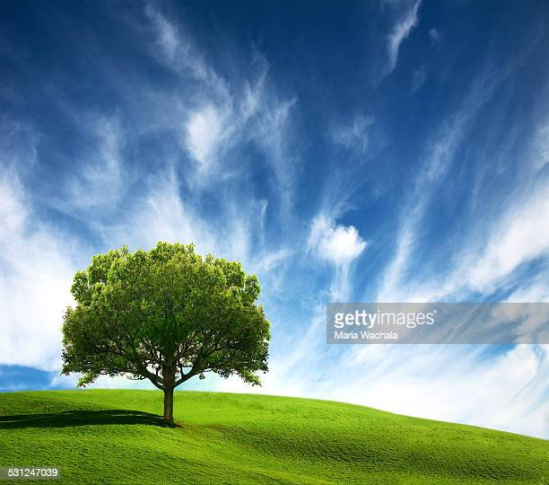 old tree on green field - single tree stock pictures, royalty-free photos & images