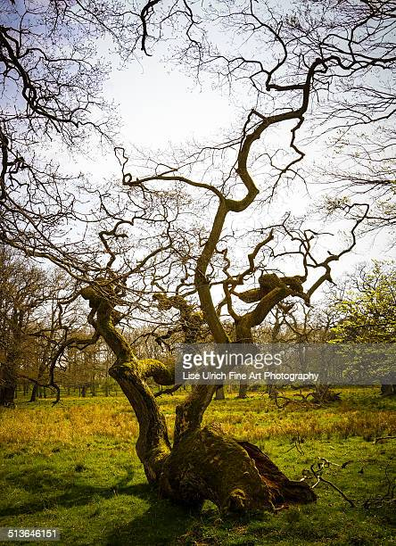 old tree - lise ulrich stock pictures, royalty-free photos & images