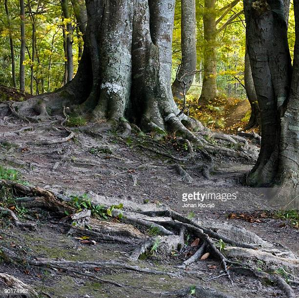 Old tree roots and trunks in a forest