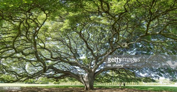 old tree with beautiful branch - oak tree stock pictures, royalty-free photos & images