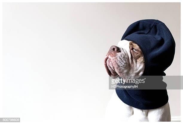 Old Tyme Aylestone bulldog wearing a balaclava hat