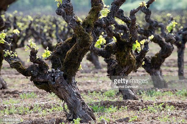 Old Vine Zinfandel grows in a vineyard in the Dry Creek Valley appellation of the Sonoma Wine Country in the Spring near Healdsburg, CA.