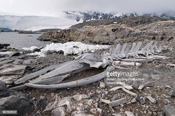 old whale skeleton, jougla point near port lockroy, antarctic peninsula, antarctica, polar regions - animal bones stock photos and pictures