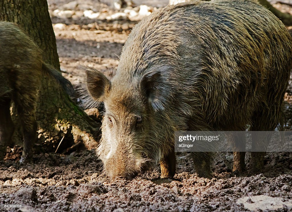 Old wildboar in mud : Stock Photo
