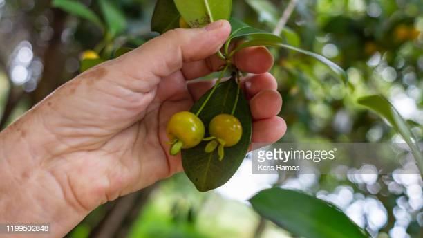 old woman's female hand holding fruit still on tree branch native to brazil - mão no cabelo fotografías e imágenes de stock