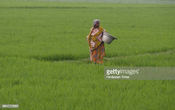 A old women are out in the paddy fields The dark paddy is ready for harvest while the lighter paddy awaits the completion of its 110day cycle Both...