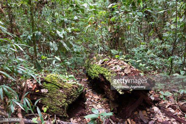 old wood in tropical rainforest, borneo, malaysia - argenberg stock pictures, royalty-free photos & images