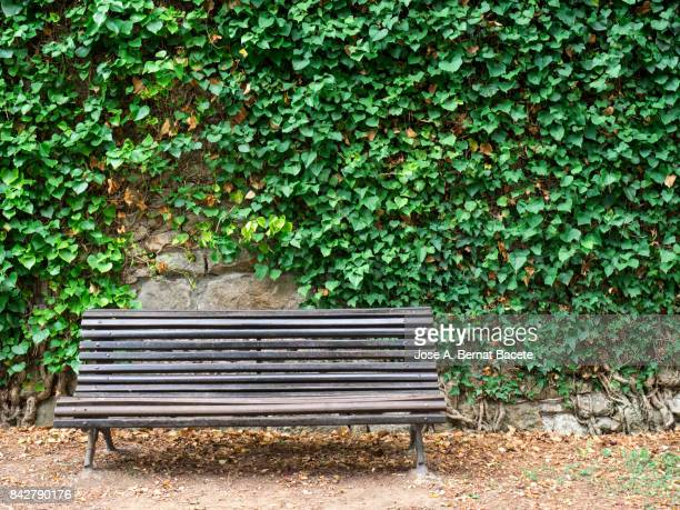 Old wooden bench in a public park, with a wall full of green leaves of a creeper plant