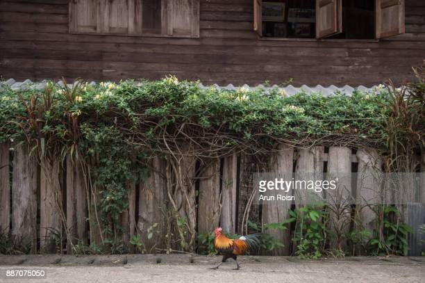 A old wooden fence with vines growing towards it; Ttraditional fence style in Mae Hong Son, northern of Thailand