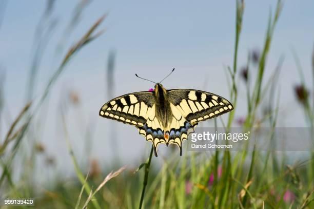 old world swallowtail (papilio machaon), badberg nature reserve, kaiserstuhl mountain range, baden-wuerttemberg, germany - farfalla a coda di rondine foto e immagini stock