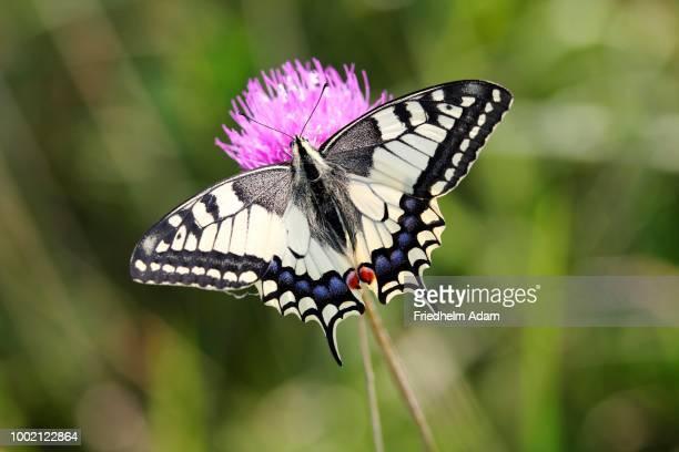 old world swallowtail (papilio machaon) butterfly on a flower, burgenland, austria - farfalla a coda di rondine foto e immagini stock