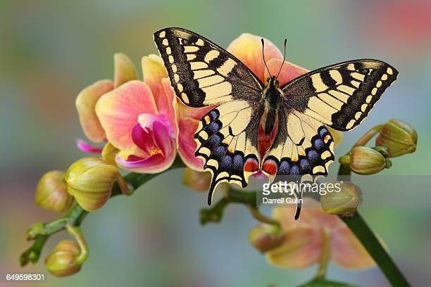 old world swallowtail butterfly, papilio machaon - swallowtail butterfly stock pictures, royalty-free photos & images