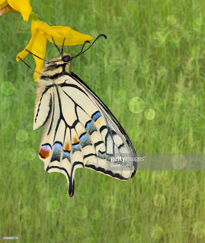 Old world swallowtail butterfly : Stock-Foto