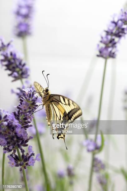 old world swallowtail butterfly - side view - farfalla a coda di rondine foto e immagini stock