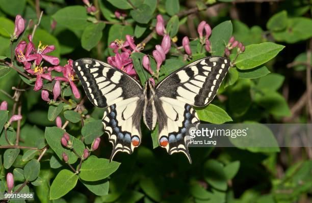 old world swallowtail (papilio machaon) butterfly, untergroeningen, abtsgmuend, baden-wuerttemberg, germany - farfalla a coda di rondine foto e immagini stock