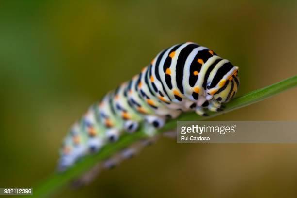 old world swallowtail caterpillar (papilio machaon) - farfalla a coda di rondine foto e immagini stock