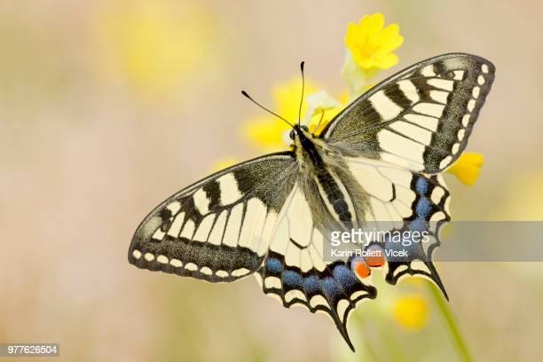 old world swallowtail (papilio machaon) on flower - farfalla a coda di rondine foto e immagini stock