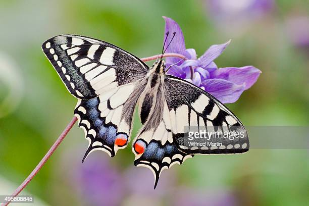 old world swallowtail -papilio machaon- butterfly, view from above with spread wings, north hesse, hesse, germany - farfalla a coda di rondine foto e immagini stock