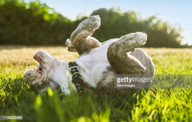 olde english bulldog puppy rolling in field - rolling stock pictures, royalty-free photos & images
