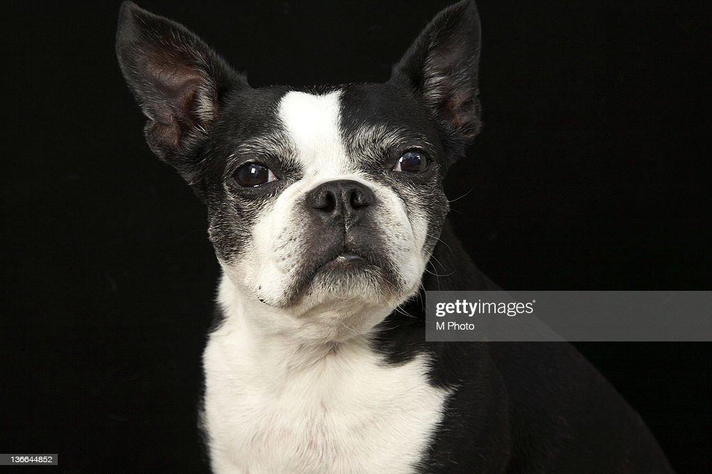 Older Bosten Terrier on black background. : Stock Photo