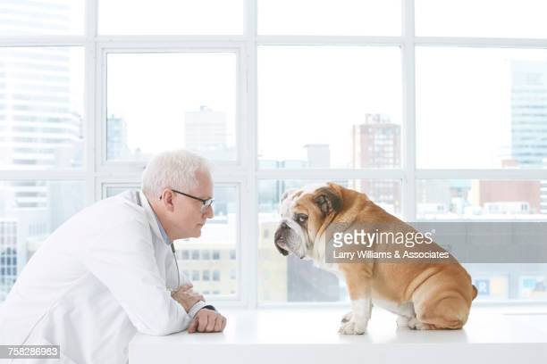 older caucasian veterinarian staring at bulldog - buldogue - fotografias e filmes do acervo