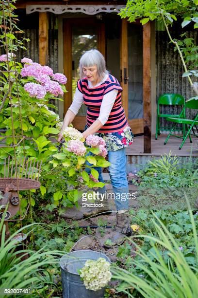 Older Caucasian woman gardening in backyard