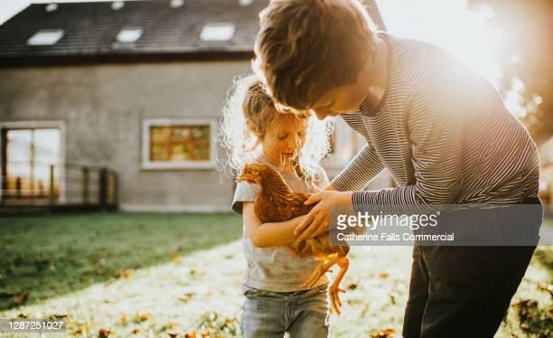 older child gently hands a younger child a chicken - organismo vivo fotografías e imágenes de stock