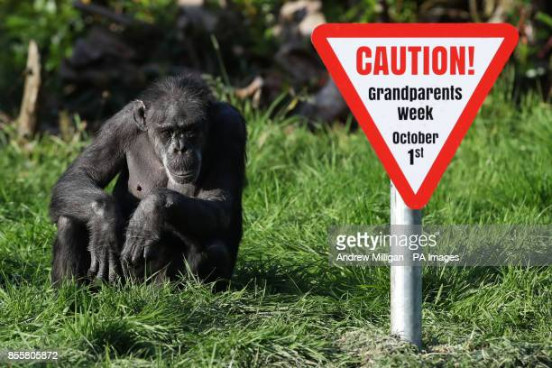 Older chimps at Blair Drummond Safari Park Stirling ahead of National Grandparents Day on October 1st as the park runs a Grandparents week