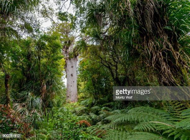 Oldest Kauri tree, Tane Mahuta, Lord of the forest or god of the forest, dense rainforest, Waipoua forest, Northland, North Island, New Zealand
