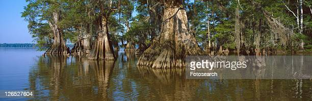 Old-growth cypresses at Lake Fausse Pointe State Park, Louisiana